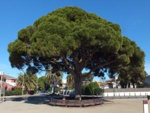 Un pino centenario