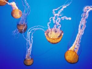 Postal: Unas espectaculares medusas
