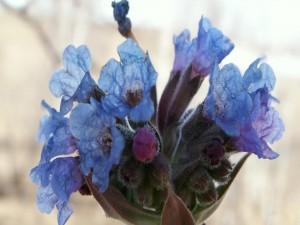 Capullos de flores azules