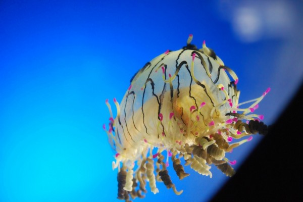 Una medusa espectacular