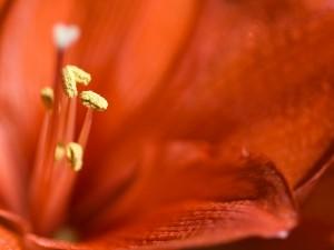 Estambres de un lirio rojo