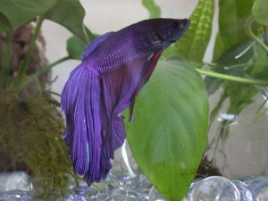 Betta splendens de color morado