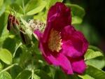 Una rosa y un pimpollo