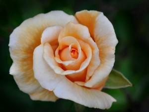 Postal: Rosa con dos tonos de color