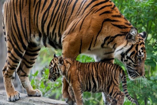 Un tigre con su cachorro