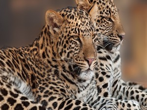 Duo de leopardos