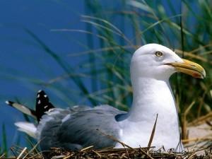 Gaviota en su nido