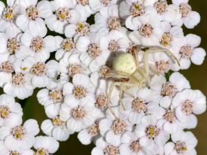 """Postal: Araña cangrejo (Misumena vatia) sobre """"milenrama"""" (Achillea millefolium)"""