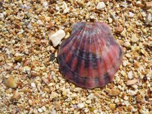 Concha de vieira del Mar Negro