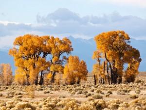 Postal: Álamos de hoja estrecha (Populus angustifolia) en Crestone, Colorado (EE.UU.)