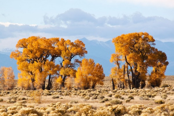 Álamos de hoja estrecha (Populus angustifolia) en Crestone, Colorado (EE.UU.)