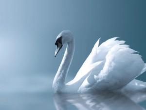Postal: Cisne blanco sobre fondo azul