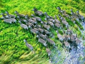 Estampida de cebras