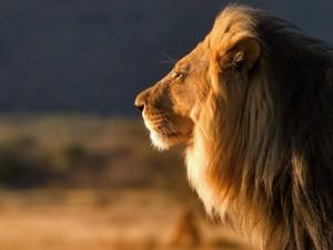 Un majestuoso león