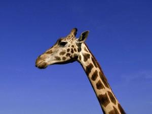 Postal: Cabeza de jirafa