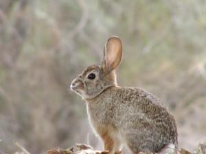 Postal: Conejo de campo