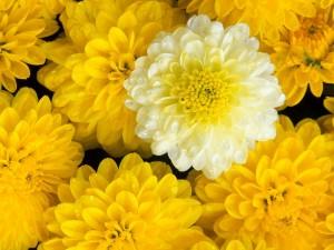 Dalias amarillas