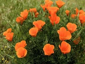 Postal: Pequeñas flores silvestres de color naranja