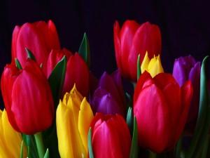 Postal: Tulipanes de colores