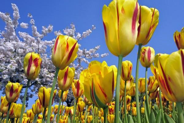 Campo de tulipanes amarillos con manchas rojas