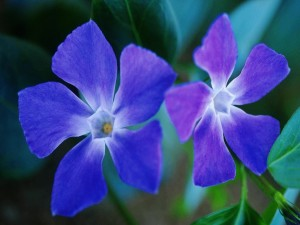 Dos flores azules