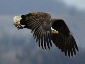 Postal: Águila en vuelo