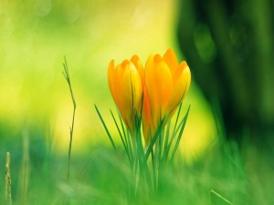 Postal: Dos fresias amarillas en un campo verde