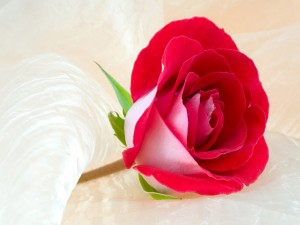 Rosa solitaria