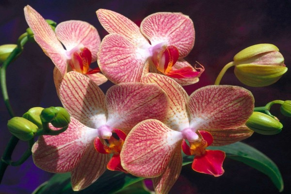 Orquídea de tonos rojizos