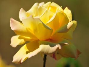 Postal: Una rosa abierta