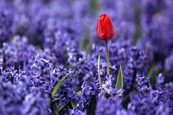 Tulipán rojo entre jacintos morados