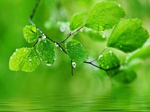 Postal: Rama con hojas verdes en la superficie del agua