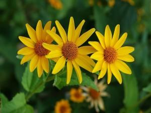 Postal: Coreopsis (Coreopsis grandiflora)