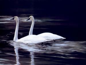 Postal: Preciosa pareja de cisnes