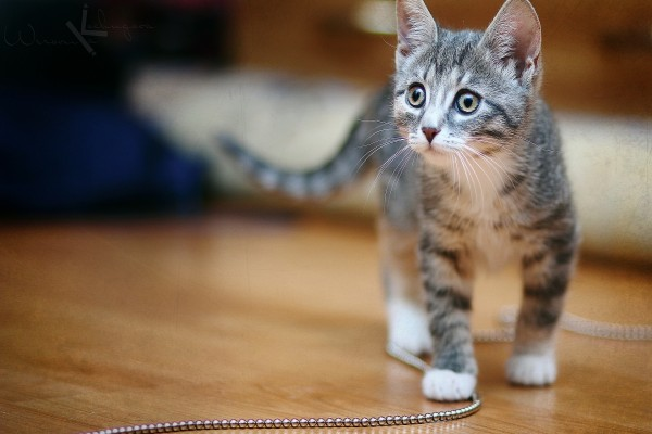 Gatito pisando una cadena