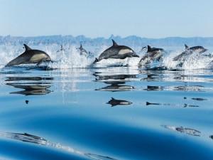 Postal: Delfines en grupo