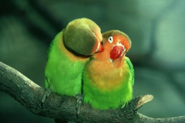 Agapornis enamorados