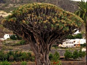 Postal: Drago milenario en Tenerife, España