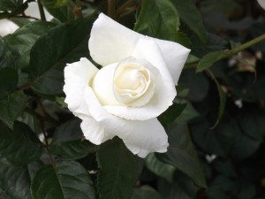 Rosa blanco puro