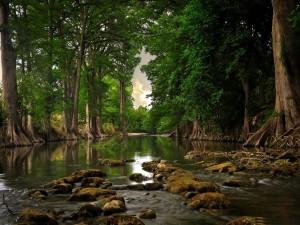 Postal: Río entre viejos árboles