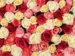 Rosas de varios colores