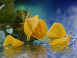 Rosa amarilla en el agua