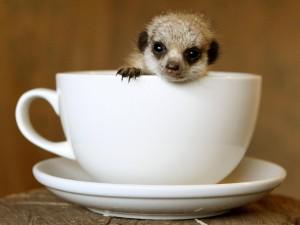 Suricata en una taza