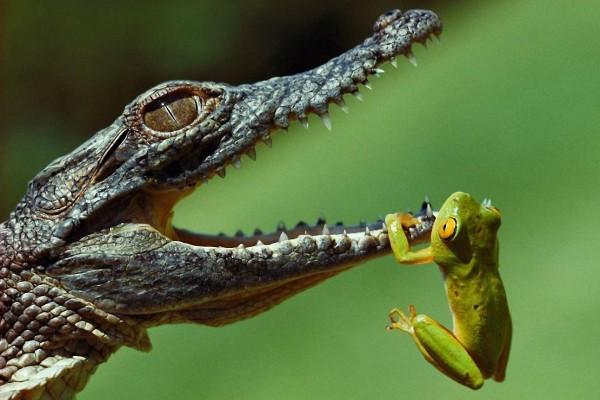 Rana colgada de la boca de un caimán