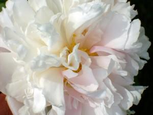 Peonía blanca