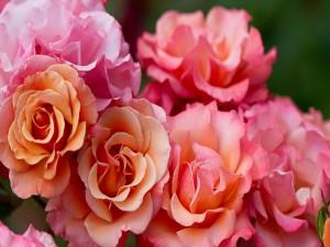 Postal: Hermosas rosas