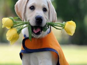 Perrito con rosas amarillas en la boca