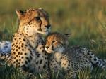 Amor maternal entre guepardos