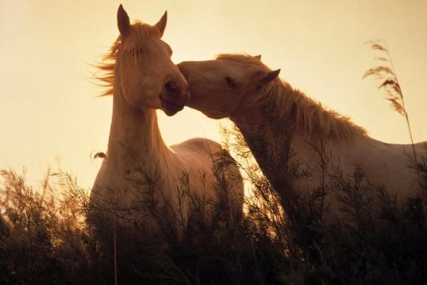 Amor equino