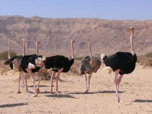 Una bandada de avestruces